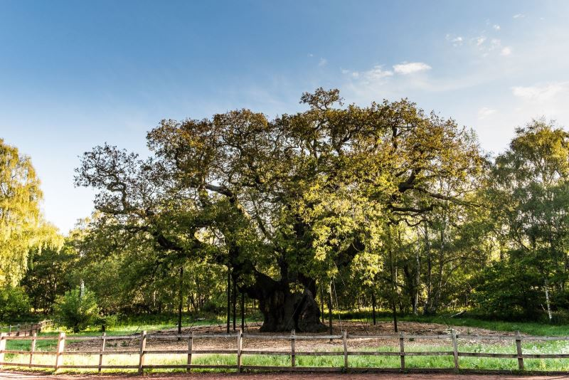Major Oak | Visit Nottinghamshire