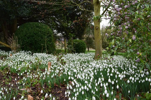 Snow Drops at Holme Pierepont Hall