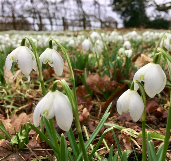 Tiptoe through the…snowdrops at Hodsock Priory