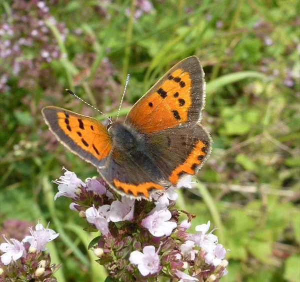 Butterfly Season at Creswell Crags