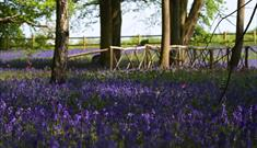 Bluebells at Hodsock Priory 2017