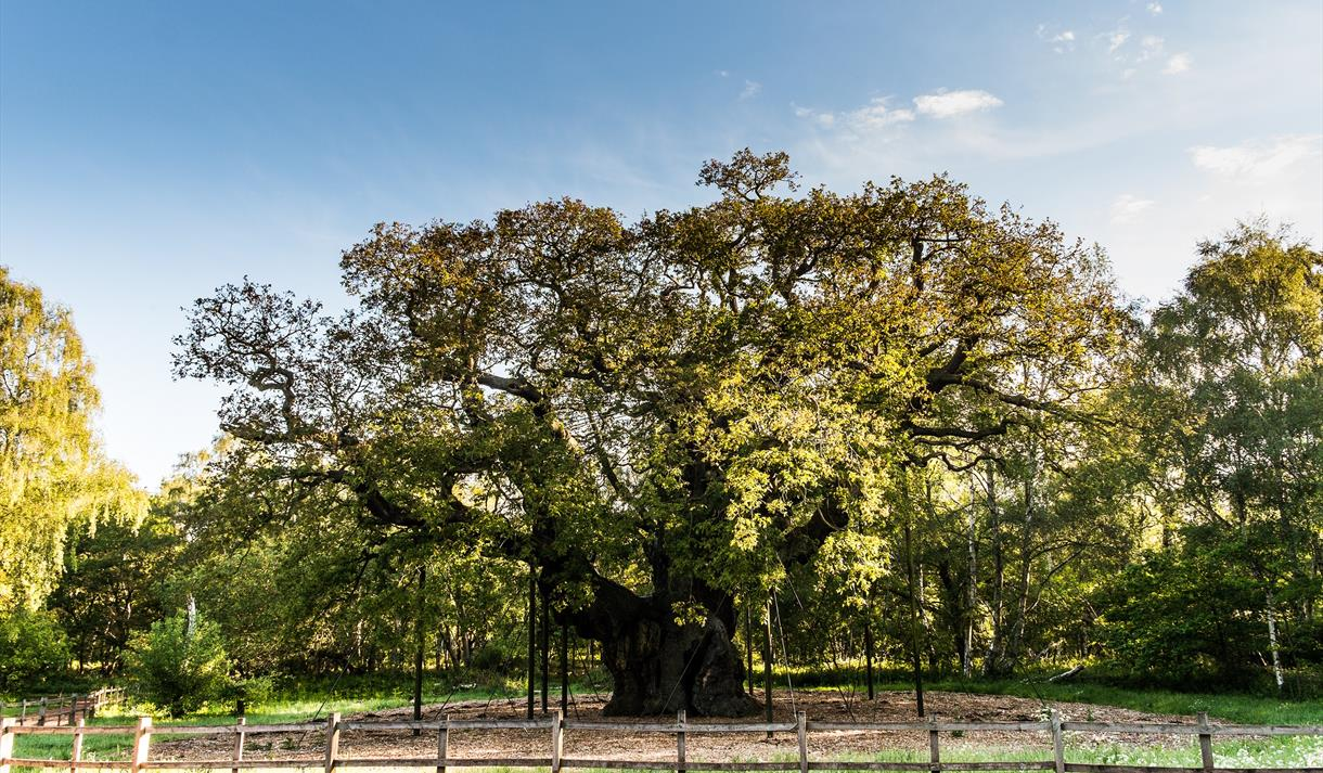 The Major Oak in Sherwood Forest | Visit Nottinghamshire
