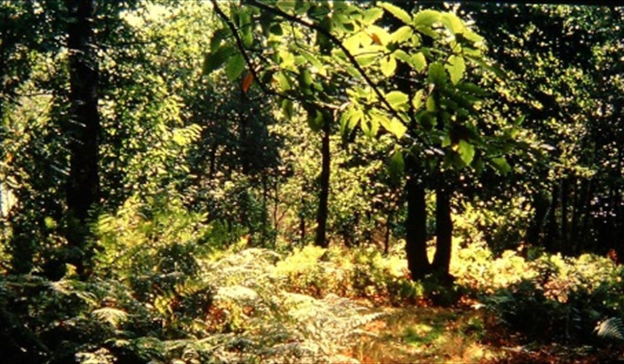 sherwood forest anniversary walks visit nottinghamshire. Black Bedroom Furniture Sets. Home Design Ideas